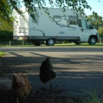 Chickens exploring Birch Hill