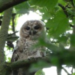 Fledgling Tawny Owl in The Dingle at Birch Hill